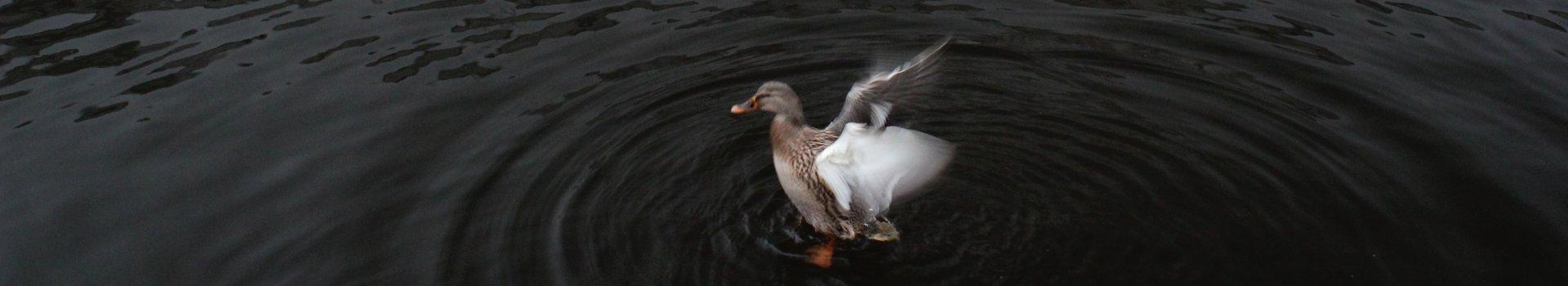 duck-c2